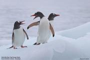 Pygoscelis_papua014.King_George_Is.South_Shetland_Islands.Antarctica.19.01.2019