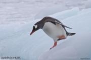 Pygoscelis_papua015.King_George_Is.South_Shetland_Islands.Antarctica.19.01.2019