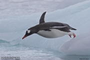 Pygoscelis_papua016.King_George_Is.South_Shetland_Islands.Antarctica.19.01.2019