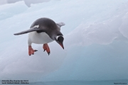 Pygoscelis_papua018.King_George_Is.South_Shetland_Islands.Antarctica.19.01.2019
