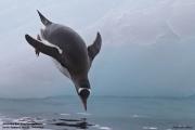 Pygoscelis_papua019.King_George_Is.South_Shetland_Islands.Antarctica.19.01.2019