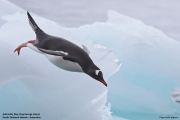 Pygoscelis_papua022.King_George_Is.South_Shetland_Islands.Antarctica.19.01.2019