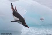 Pygoscelis_papua023.King_George_Is.South_Shetland_Islands.Antarctica.19.01.2019