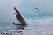 Pygoscelis_papua024.King_George_Is.South_Shetland_Islands.Antarctica.19.01.2019