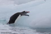 Pygoscelis_papua025.King_George_Is.South_Shetland_Islands.Antarctica.19.01.2019
