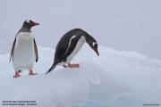 Pygoscelis_papua026.King_George_Is.South_Shetland_Islands.Antarctica.19.01.2019