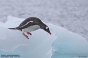 Pygoscelis_papua027.King_George_Is.South_Shetland_Islands.Antarctica.19.01.2019