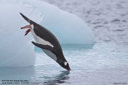 Pygoscelis_papua029.King_George_Is.South_Shetland_Islands.Antarctica.19.01.2019