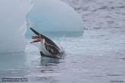 Pygoscelis_papua030.King_George_Is.South_Shetland_Islands.Antarctica.19.01.2019