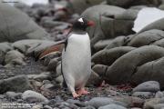 Pygoscelis_papua032.King_George_Is.South_Shetland_Islands.Antarctica.19.01.2019