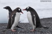 Pygoscelis_papua033.King_George_Is.South_Shetland_Islands.Antarctica.19.01.2019