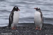 Pygoscelis_papua036.King_George_Is.South_Shetland_Islands.Antarctica.19.01.2019