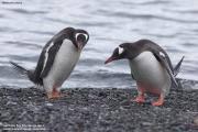 Pygoscelis_papua037.King_George_Is.South_Shetland_Islands.Antarctica.19.01.2019