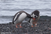 Pygoscelis_papua038.King_George_Is.South_Shetland_Islands.Antarctica.19.01.2019