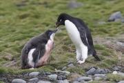 Pygoscelis_adeliae.0125.King-George-Is.South-Shetland-Islands.Antarctica.17.01.2019