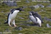 Pygoscelis_adeliae.112.King-George-Is.South-Shetland-Islands.Antarctica.26.01.2019