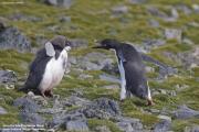 Pygoscelis_adeliae.118.King-George-Is.South-Shetland-Islands.Antarctica.26.01.2019