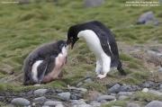 Pygoscelis_adeliae.123.King-George-Is.South-Shetland-Islands.Antarctica.17.01.2019
