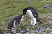Pygoscelis_adeliae.128.King-George-Is.South-Shetland-Islands.Antarctica.17.01.2019