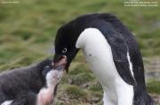 Pygoscelis_adeliae.129.King-George-Is.South-Shetland-Islands.Antarctica.17.01.2019