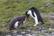 Pygoscelis_adeliae.130.King-George-Is.South-Shetland-Islands.Antarctica.17.01.2019