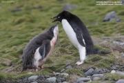Pygoscelis_adeliae.131.King-George-Is.South-Shetland-Islands.Antarctica.17.01.2019