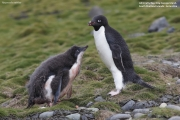 Pygoscelis_adeliae.132.King-George-Is.South-Shetland-Islands.Antarctica.17.01.2019