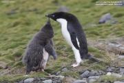 Pygoscelis_adeliae.133.King-George-Is.South-Shetland-Islands.Antarctica.17.01.2019