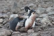 Pygoscelis_adeliae.138.King-George-Is.South-Shetland-Islands.Antarctica.25.01.2019