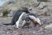 Pygoscelis_adeliae.140.King-George-Is.South-Shetland-Islands.Antarctica.25.01.2019