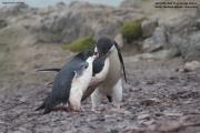Pygoscelis_adeliae.141.King-George-Is.South-Shetland-Islands.Antarctica.25.01.2019