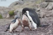Pygoscelis_adeliae.145.King-George-Is.South-Shetland-Islands.Antarctica.25.01.2019