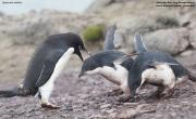 Pygoscelis_adeliae.146.King-George-Is.South-Shetland-Islands.Antarctica.25.01.2019