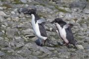 Pygoscelis_adeliae.149.King-George-Is.South-Shetland-Islands.Antarctica.26.01.2019