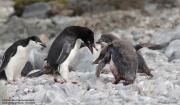 Pygoscelis_adeliae.150.King-George-Is.South-Shetland-Islands.Antarctica.17.01.2019