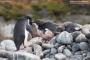 Pygoscelis_adeliae.152.King-George-Is.South-Shetland-Islands.Antarctica.17.01.2019