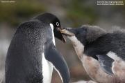 Pygoscelis_adeliae.153.King-George-Is.South-Shetland-Islands.Antarctica.17.01.2019