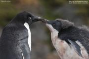 Pygoscelis_adeliae.155.King-George-Is.South-Shetland-Islands.Antarctica.17.01.2019
