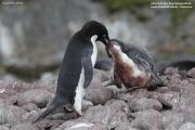 Pygoscelis_adeliae.157.King-George-Is.South-Shetland-Islands.Antarctica.17.01.2019