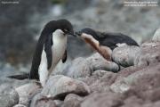 Pygoscelis_adeliae.159.King-George-Is.South-Shetland-Islands.Antarctica.17.01.2019