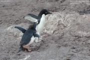 Pygoscelis_adeliae.166.King-George-Is.South-Shetland-Islands.Antarctica.28.01.2019