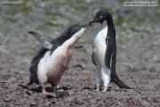 Pygoscelis_adeliae.167.King-George-Is.South-Shetland-Islands.Antarctica.26.01.2019