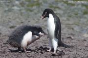 Pygoscelis_adeliae.170.King-George-Is.South-Shetland-Islands.Antarctica.26.01.2019