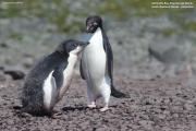 Pygoscelis_adeliae.171.King-George-Is.South-Shetland-Islands.Antarctica.26.01.2019
