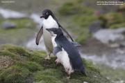 Pygoscelis_adeliae.172.King-George-Is.South-Shetland-Islands.Antarctica.25.01.2019