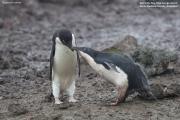 Pygoscelis_adeliae.173.King-George-Is.South-Shetland-Islands.Antarctica.22.01.2019