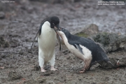 Pygoscelis_adeliae.174.King-George-Is.South-Shetland-Islands.Antarctica.22.01.2019
