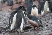 Pygoscelis_adeliae.178.King-George-Is.South-Shetland-Islands.Antarctica.22.01.2019