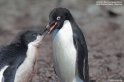 Pygoscelis_adeliae.179.King-George-Is.South-Shetland-Islands.Antarctica.26.01.2019