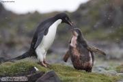 Pygoscelis_adeliae.180.King-George-Is.South-Shetland-Islands.Antarctica.18.01.2019